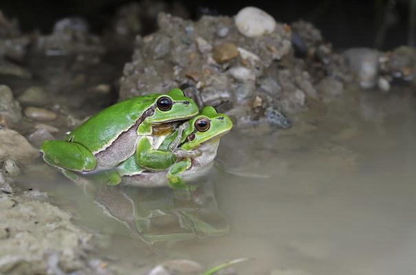 Tree Frog (Hyla arborea) amplexus