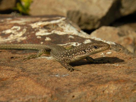Uzzell's Lizard (Darevskia uzzelli) juvenile
