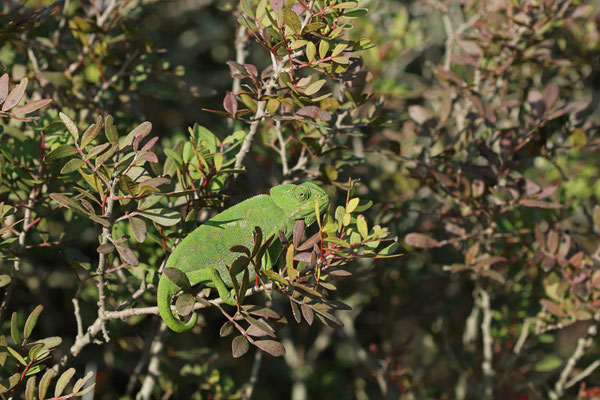 Mediterranean Chameleon (Chamaeleo chamaeleon) basking.