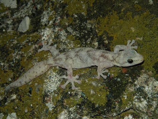 European Leaf-toed Gecko (Euleptes europaea), Genua, Italy, July 2010