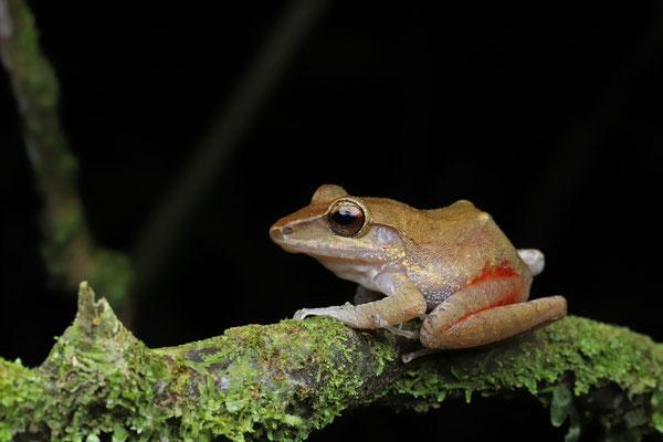 White-lipped Rain Frog (Craugastor talamancae)