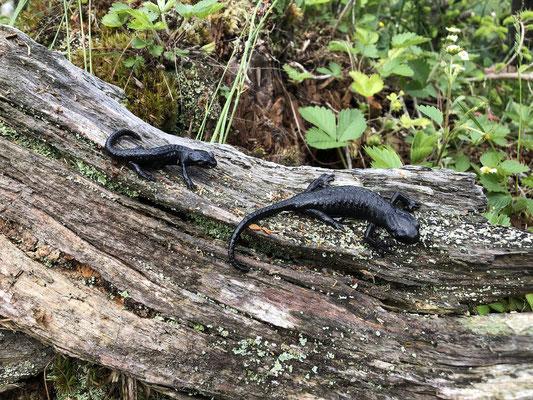 Alpine Salamanders (Salamandra atra)