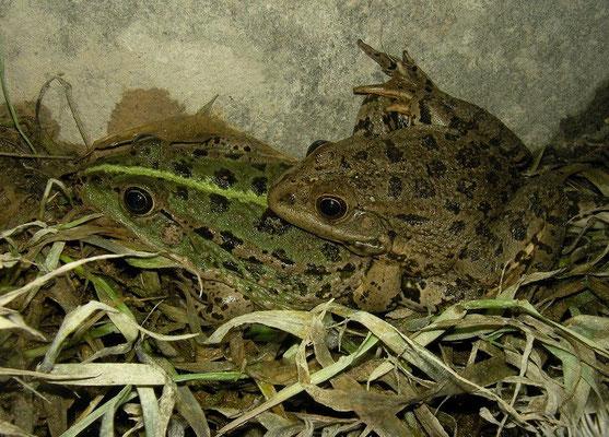 Levant Water Frogs (Pelophylax cf. bedriagae) in amplexus