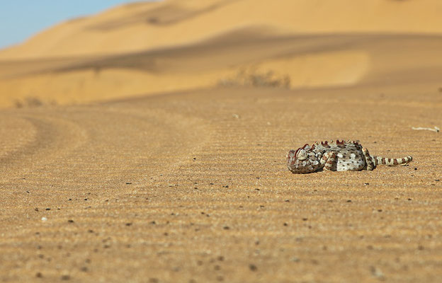 When a possible predator approaches (such as a bird of prey in this case) the Namaqua Chameleon (Chamaeleo namaquensis) makes itself as small as possible.