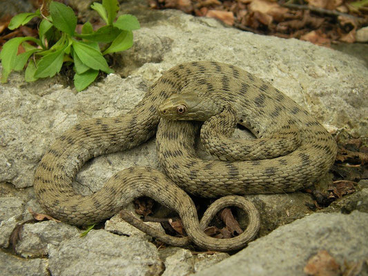 Dice Snake (Natrix tessellata), Northern Italy, August 2014