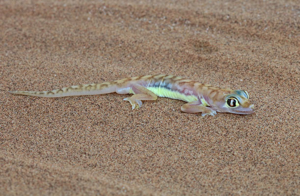 Web-footed Gecko (Pachydactylus rangei)