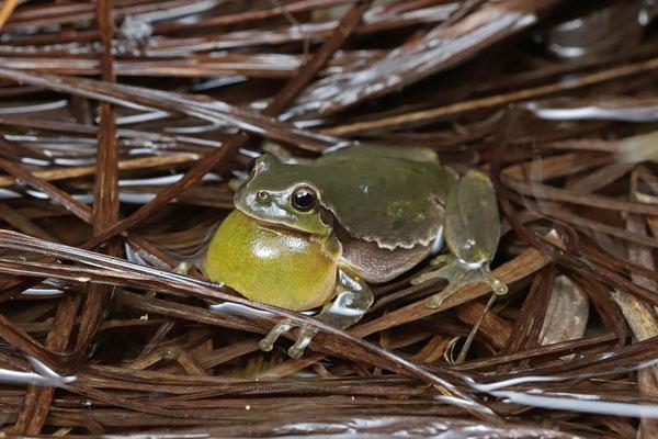 Tree Frog (Hyla arborea) calling male.