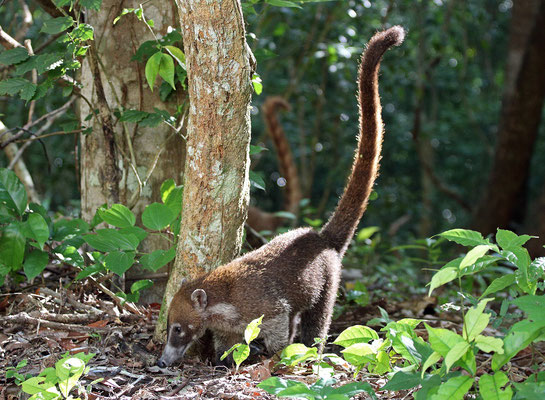 White-nosed Coatis (Nasua narica) foraging