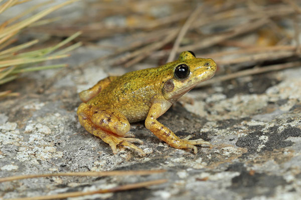 Majorcan Midwife Toad (Alytes muletensis), the individuals from this population often have long legs, a slender build and a pale colour.