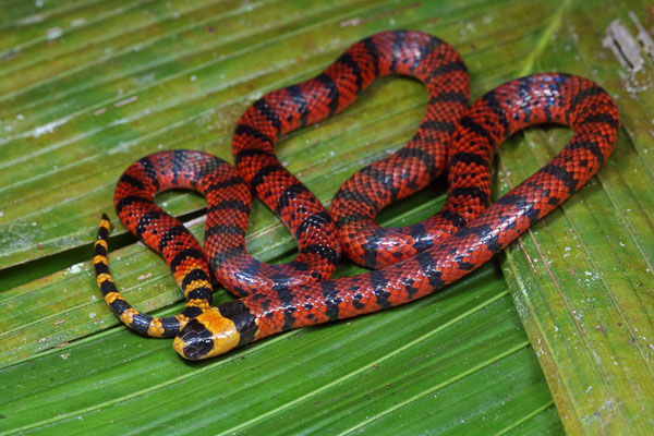 Variable Coral Snake (Micrurus diastema)