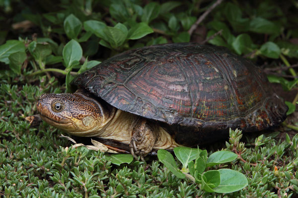 William's Hinged Terrapin (Pelusios williamsi)
