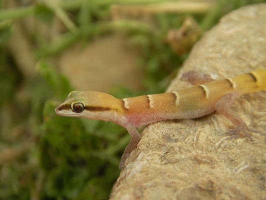 Banded Dwarf Gecko (Microgecko helenae)