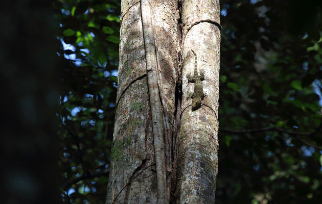 Large Forest Gecko (Gekko smithii) basking high up in a tree.