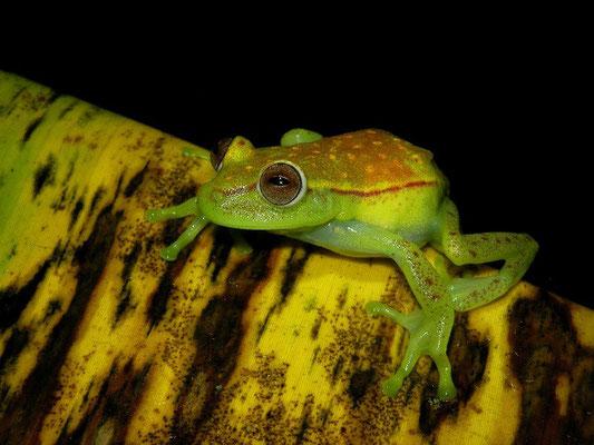 Common polkadot treefrog (Hypsiboas punctatus)