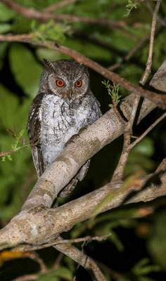 Moluccan Scops Owl (Otus magicus albiventris) © Jasper Boldingh
