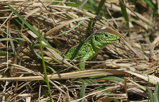 Sand Lizard (Lacerta agilis) after a meal.