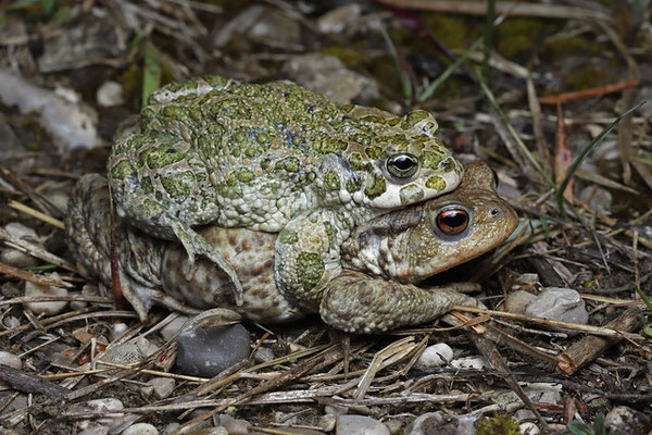 Green Toad (Bufotes viridis) on top of a Common Toad (Bufo bufo).