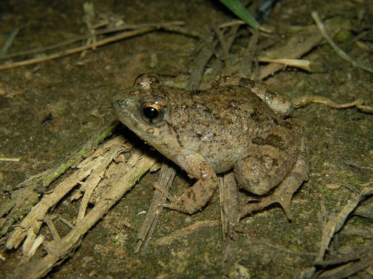 Snoring Puddle Frog (Phrynobatrachus natalensis)