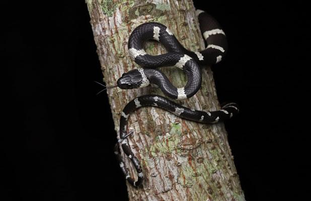 Banded Snail Sucker (Tropidodipsas fasciata)