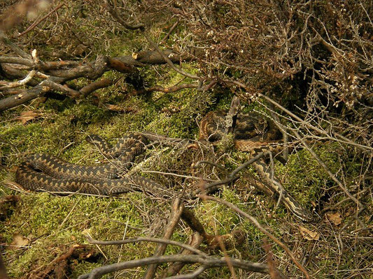 Adder (Vipera berus), four animals basking together, Veluwe, the Netherlands, March 2012