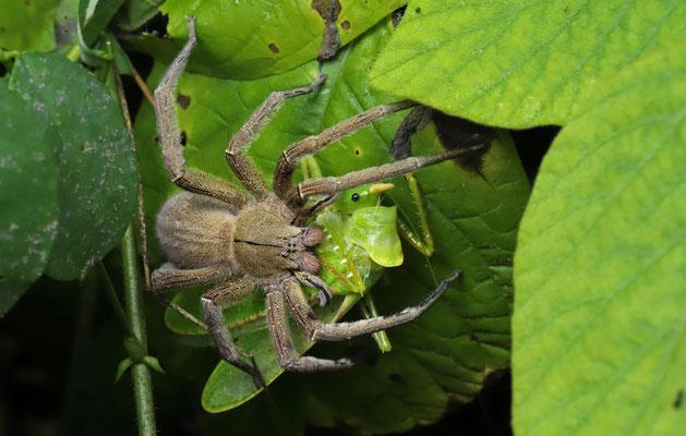 Spider with Cone-headed Grasshopper prey.
