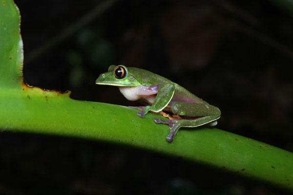 Golden-eyed Leaf Frog (Agalychnis annae) calling male