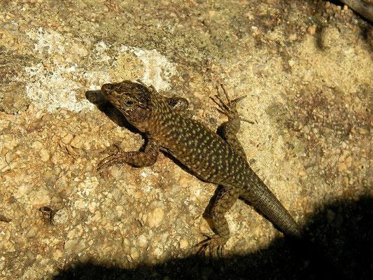 Bedriaga's Rock Lizard (Archaeolacerta bedriagae bedriagae), Corsica, France, May 2011