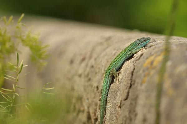 Ibiza Wall Lizard (Podarcis pityusensis) male