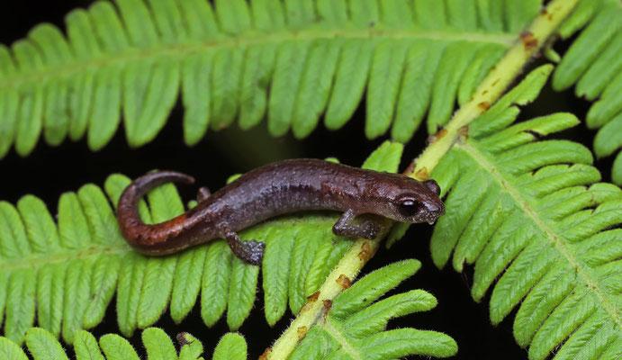 Stuart's Salamander (Bolitoglossa stuarti)