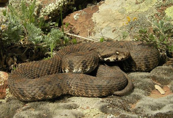 Armenian Viper (Montivipera raddei)