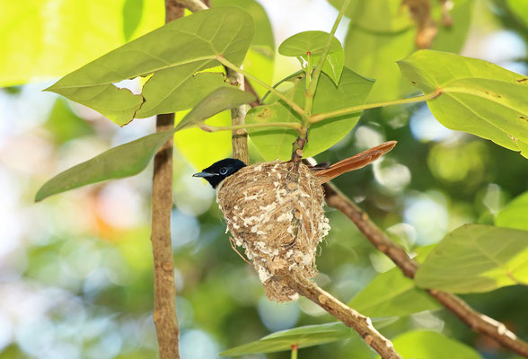 Seychelles Paradise Flycatcher (Terpsiphone corvina) female on nest.