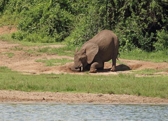 African Bush Elephant (Loxodonta africana) at a saltlick.