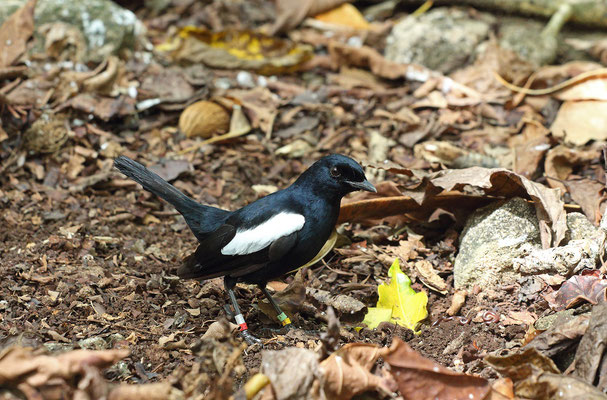 Seychelles Magpie Robins (Copsychus sechellarum) are incredibly curious, when you start to move the leaf litter they come in to see what is happening.