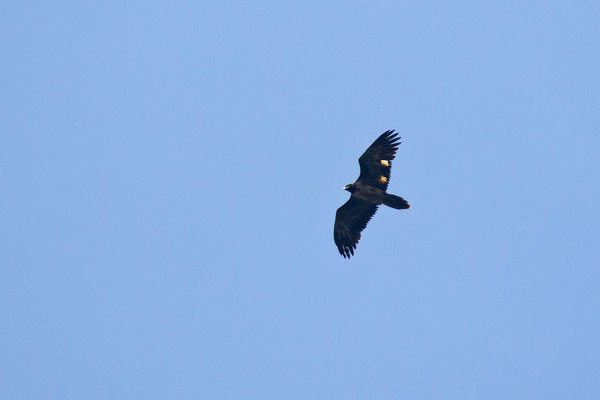 Bearded Vulture (Gypaetus barbatus), snapshot by Jasper Boldingh.