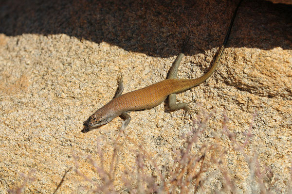 Western Rock Skink (Trachylepis sulcata)
