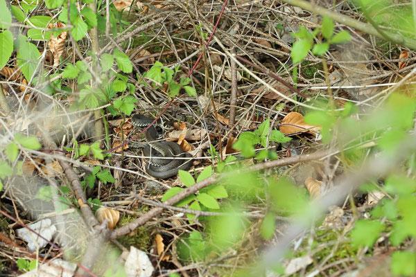 Grass Snake (Natrix natrix) male
