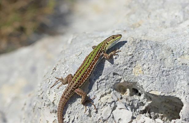 Italian Wall Lizard (Podarcis siculus campestris) female