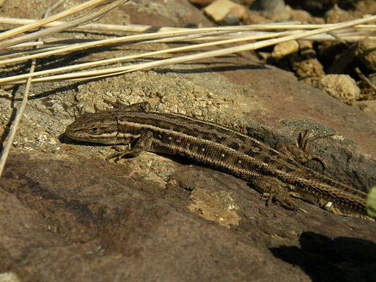 Dwarf Lizard (Parvilacerta parva)