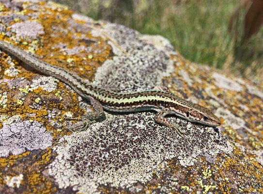 Caucasian Lizard (Darevskia caucasica)