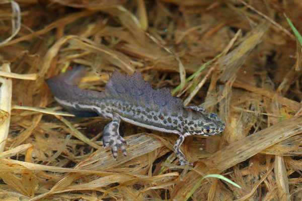 Southern Banded Newt (Ommatotriton vittatus)