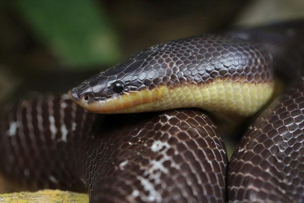 Mexican Burrowing Python (Loxocemus bicolor)
