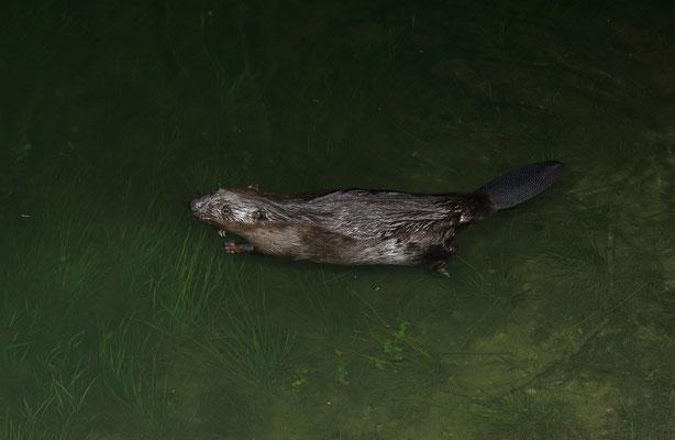 Beaver (Castor fiber)