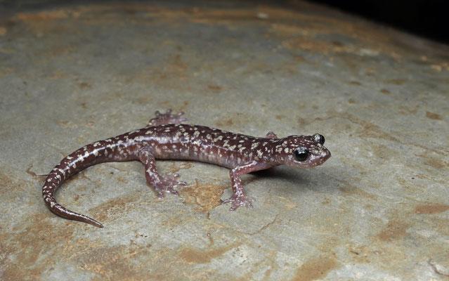 Sette Fratelli Cave Salamander (Speleomantes sarrabusensis)