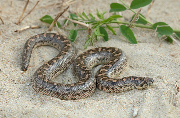 Sand Boa (Eryx jaculus)
