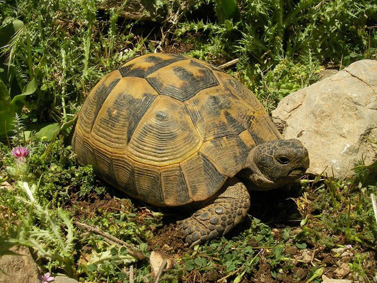Spur-thighed Tortoise (Testudo graeca armeniaca), Van, Turkey, May 2015