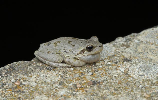 Calling Tyrrhenian Tree Frog (Hyla sarda) male