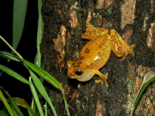 Clown treefrog (Dendrosophus leucophyllatus) calling