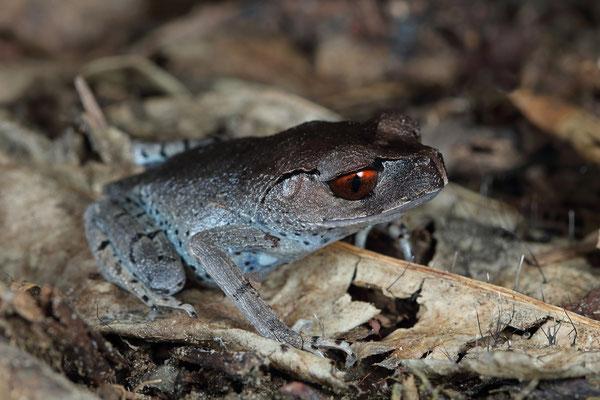 Spotted Litter Frog (Leptobrachium hendricksoni)