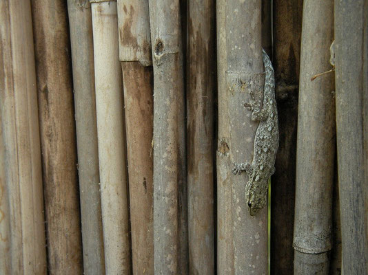 Angola Dwarf Gecko (Lygodactylus angolensis) female