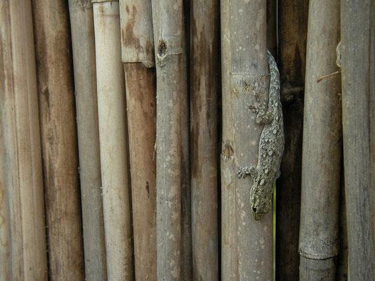 Chobe Dwarf Gecko (Lygodactylus chobiensis) female